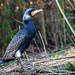 Cormorant (Kormoran) by matthias.foto