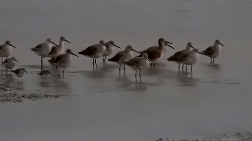 FL: Willets at Dusk