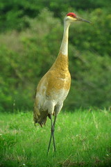 Sandhill Crane, Harns Marsh, Lehigh Acres, FL 1/13/2016