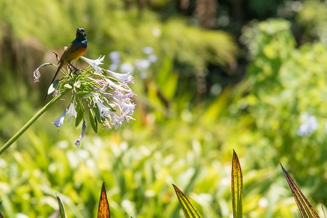 Kolibri im Kirstenbosch Botanical Garden
