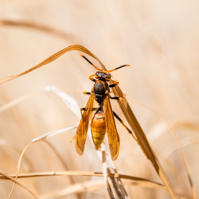 Paper (?) wasp