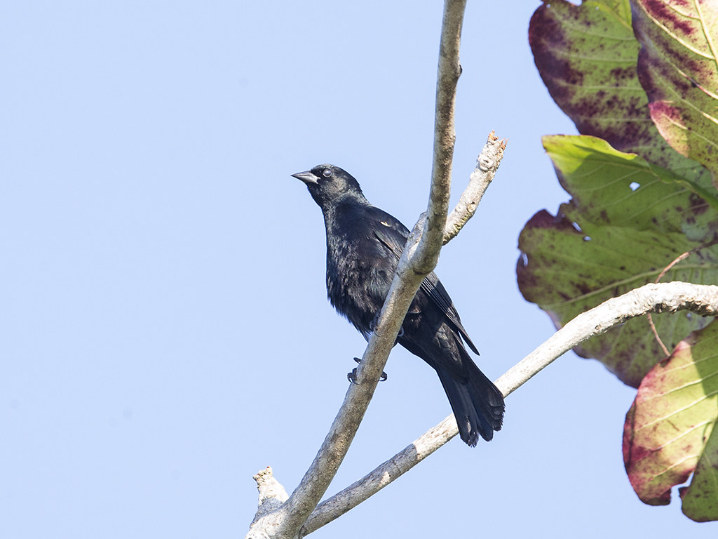 Red-shouldered Blackbird    endemic to Cuba