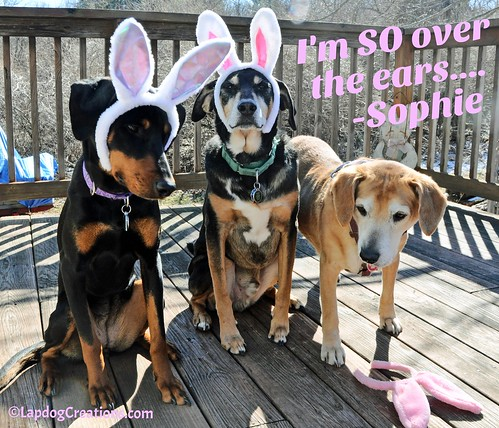 Sophie is SO Over the Bunny Ears! #easter2016 #easter #easterdogs #dogsinbunnyears #LapdogCreations ©LapdogCreations