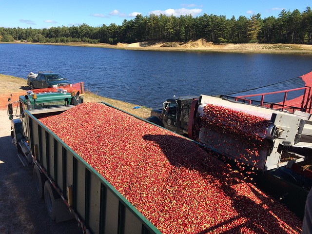 cranberries on the cape