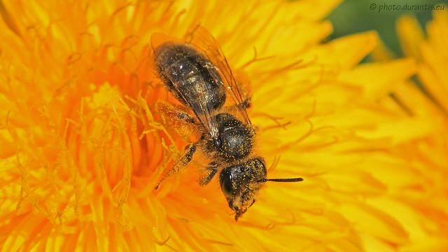 Andrena · Andrène · Gemeine Sandbiene II