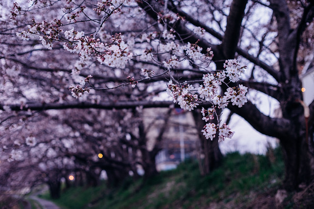 CherryBlossoms_09