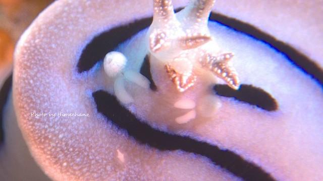 ミゾレウミウシにはミッキーマウスが2匹w