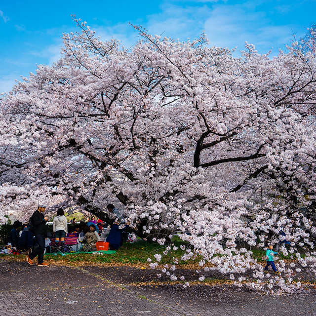 CherryBlossoms_165