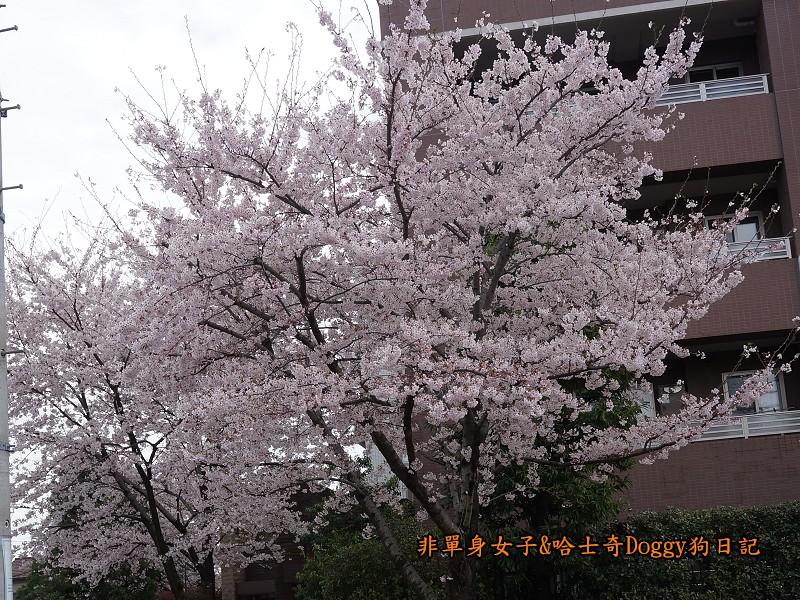 日本東京吉祥寺牛肉丸&satou牛排05