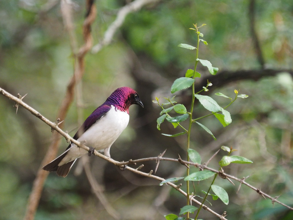 PC080407 Violet-backed starling