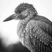 Baby Night Heron by David McCudden