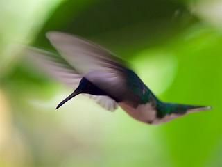 Kolibrie- Hummingbird in Mindo