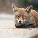 Sleepy Urban Fox by - Alex Witt -