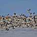 Day 16/366 Snow Geese at Bombay Hook by HugsNotDrugs11385