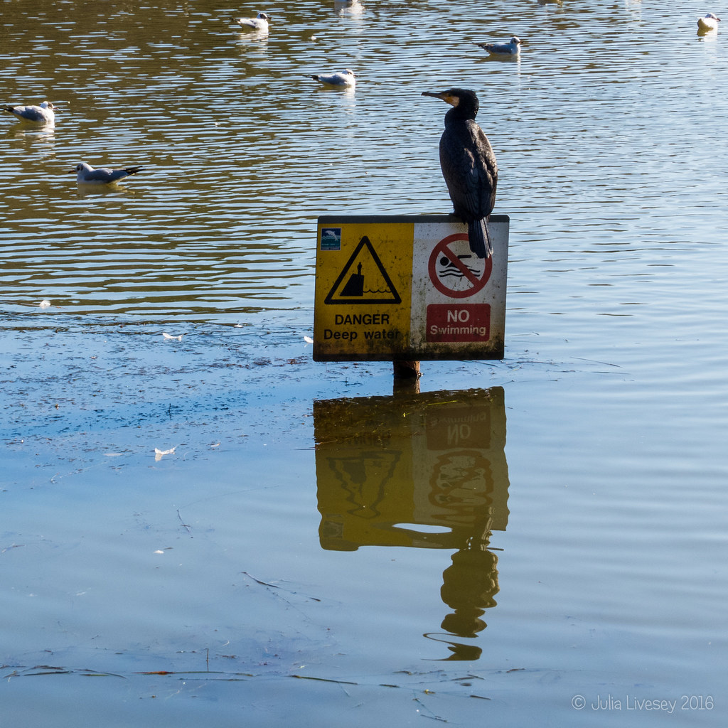 Reflected Cormorant
