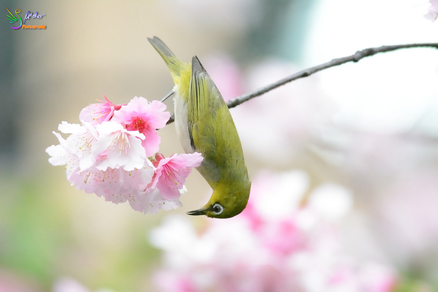 Sakura_White-eye_7173