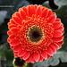 Chrysanthemum - Decorative Flower 4