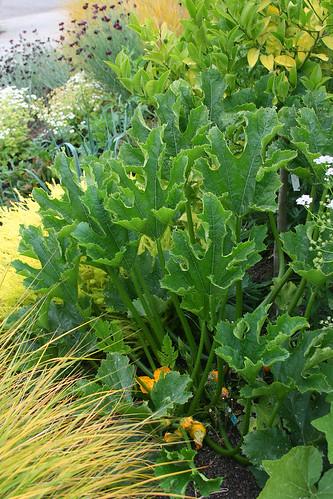 Squash foliage