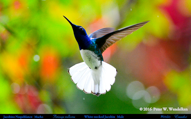 RHAPSODY IN BLUE: WHITE-NECKED JACOBIN Male (a hummingbird) Florisuga mellivora Hovering in Light Rain in Mindo, ECUADOR. Hummingbird Photo by Peter Wendelken.