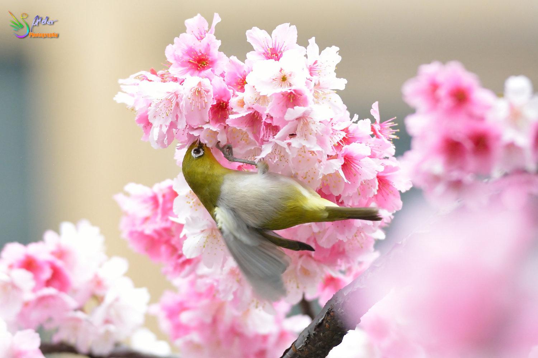 Sakura_White-eye_8082
