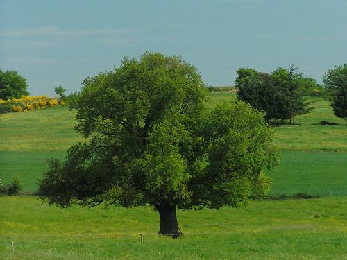 20080514 22774 0904 Jakobus Baum Wiese gelb