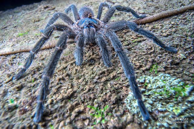 Tarantula (Theraphosidae) - ESC03958