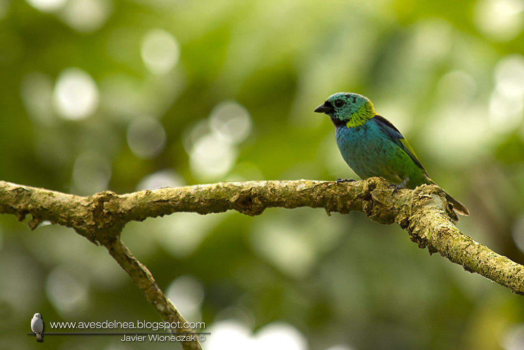 Saira arcoiris (Green-headed tanager) Tangara seledon