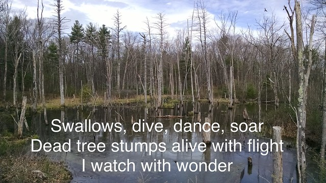 Image Haiku: The Swallows of the Swamp