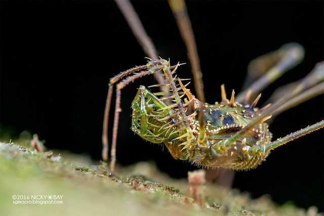 Harvestman (Podoctidae) - DSC_6943b