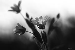 Stellaires en noir et blanc