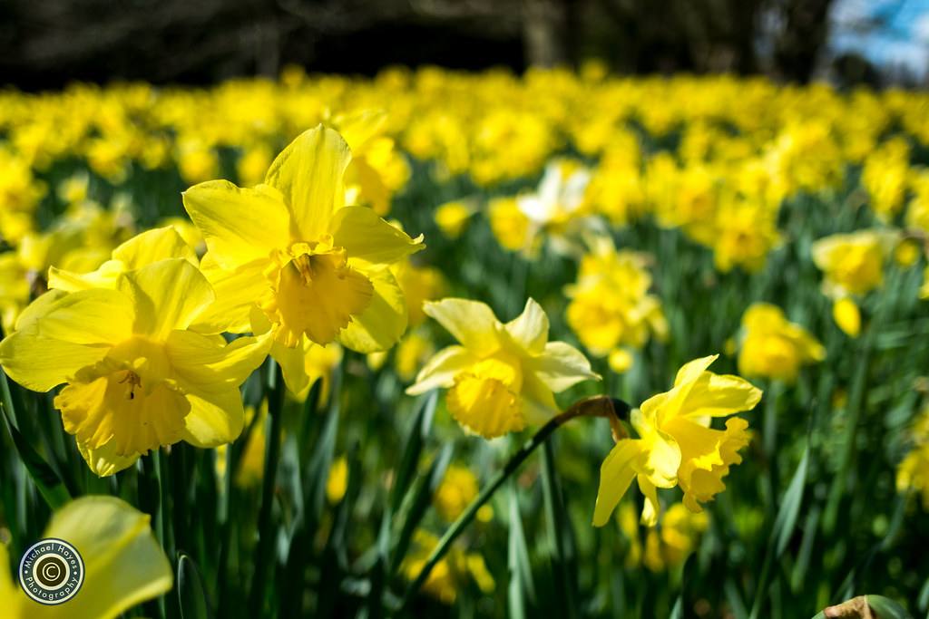 Daffodils at Scotney Castle