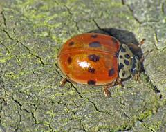 10-Spot Ladybird -  Adalia 10-punctata