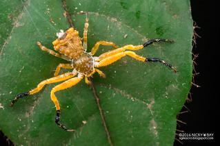 Bird dung crab spider (Phrynarachne sp.) - DSC_0957
