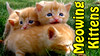 Three Week Old Kittens Meowing for Mama