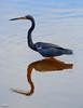 C57A7650 Garza pechiblanco - Tricolored Heron - Egretta tricolor by Carlos A. Objio Sarraff