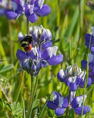 Bumblebee (Bombus) on Lupin (Lupinus)
