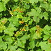 Small photo of Ribes aureum