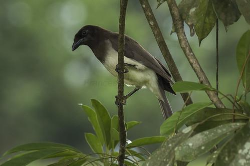 birds costarica centralamerica northernlowlands 188crowsjaysmagpies 13brownjay