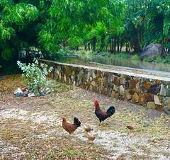 Chickens & Chicks - BVI