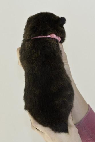 Kumi-Litter5-Day20-Puppy2-Female-b