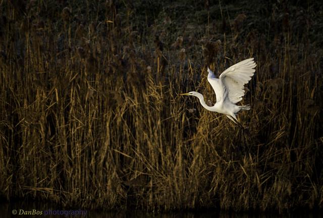Great White Egret (Ardea Alba) on a winter morning in Comacchio Lagoon