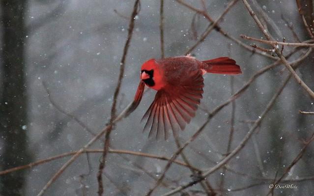 cardinal..