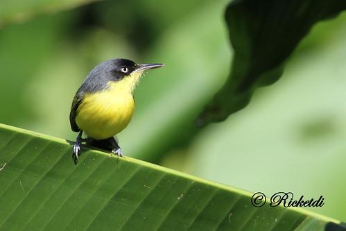 ngc npc commontodyflycatcher todirostrumcinereum todirostrefamilier coth5 birdofcostarica