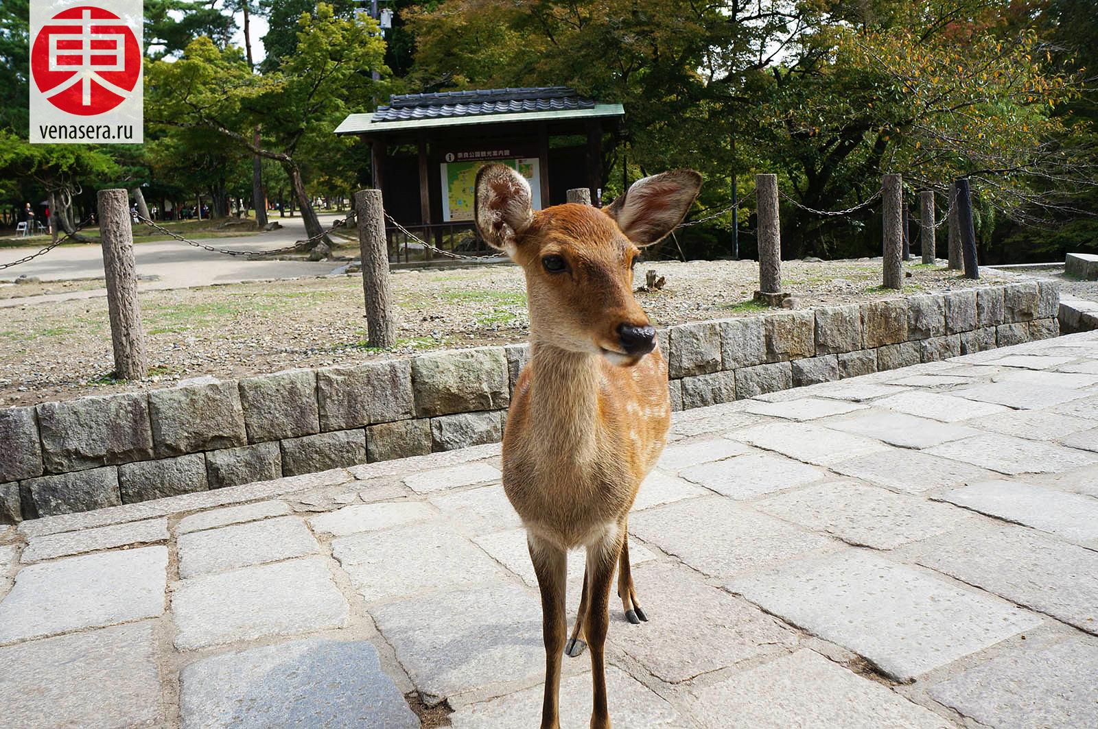 Путешествие в Нара, Поездка в Нара, Олени в г. Нара, Парк Нара, Нара, Nara, 奈良, Япония, Japan, 日本.