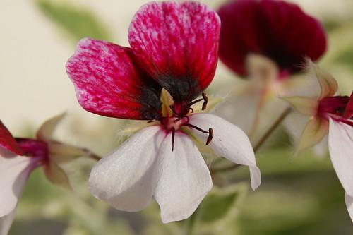 Pelargonium 'Dreamland'