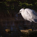 Little Egret by Roantrum