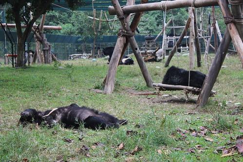 Bears sleep so comfortably at their enclosure