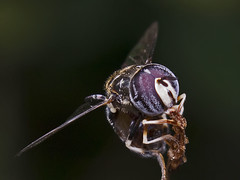 Hoverfly (Tribe: Paragini)
