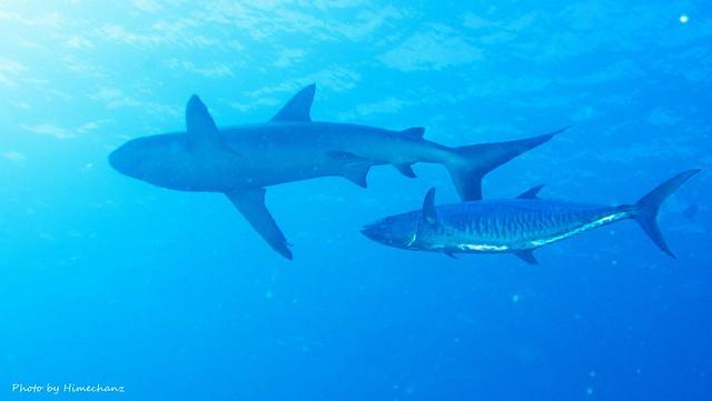サメに隠れてたヨコシマサワラ
