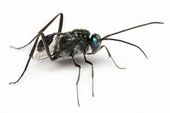Oriental ensign wasp